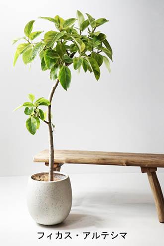 Ficus-altissima_c.jpg