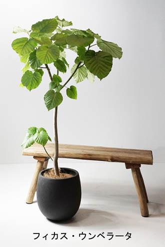 Ficus-umbellata_c.jpg